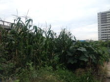 the field by my apartment grows corn now.